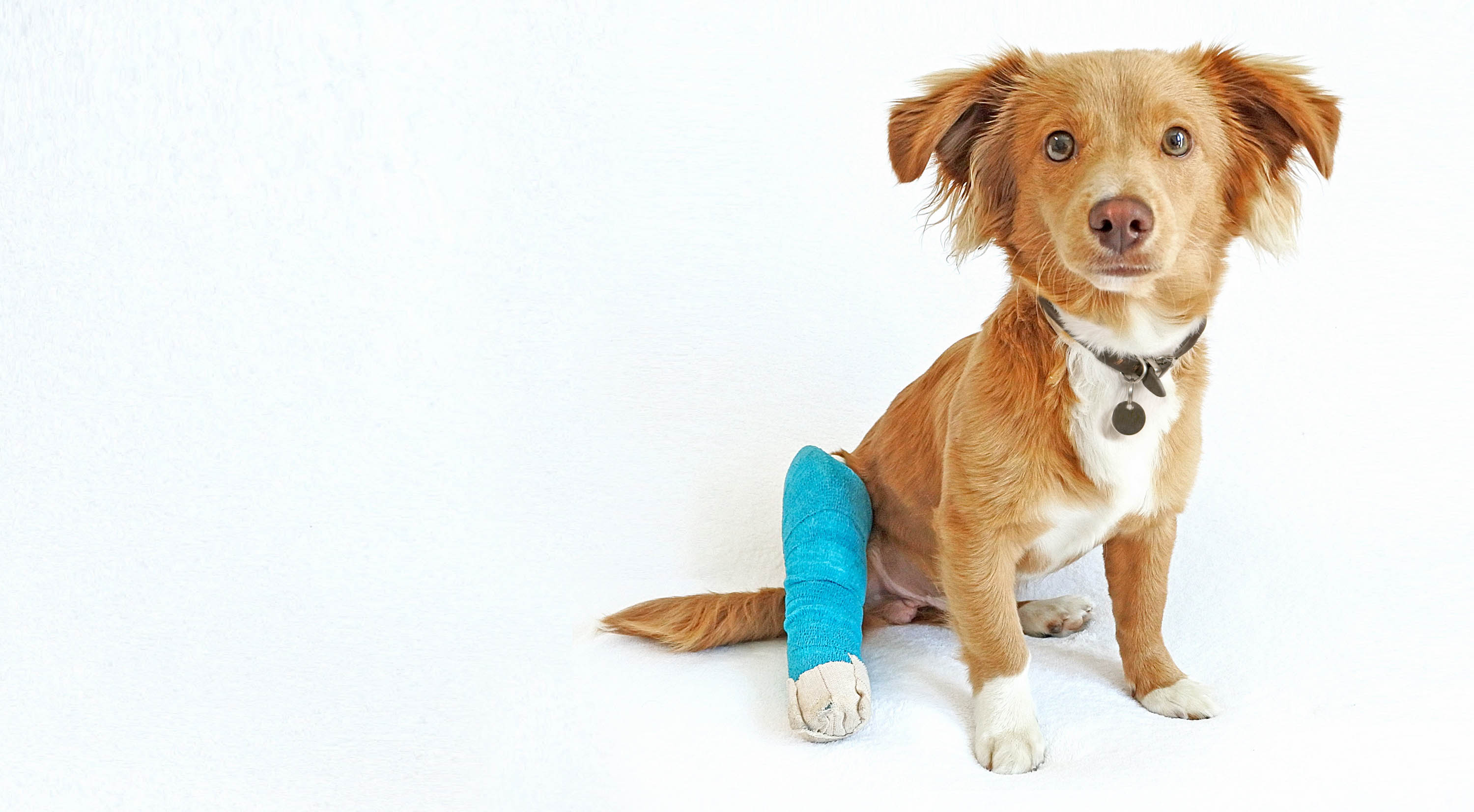 Cute dog with a cast